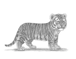 How to Draw a Baby Tiger Cub