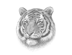 How to Draw a Tiger Head Portrait