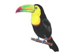 How to Draw a Keel-Billed Toucan