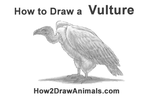 How to Draw a Vulture Bird