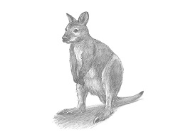 How to Draw a Red-Necked Wallaby
