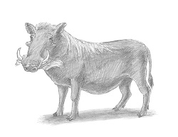 How to Draw a Common Warthog