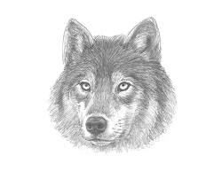 How to Draw a Gray Wolf Head Detail Portrait