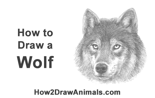 How to Draw a Gray Wolf Head Portrait Face