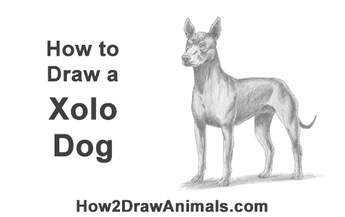 How to Draw a Xoloitzcuintle Mexican Hairless Dog