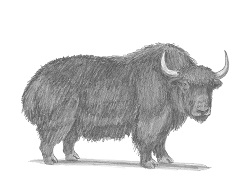 How to Draw a Domestic Himalayan Yak