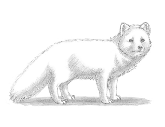 Kawaii Cute Arctic Fox Drawing
