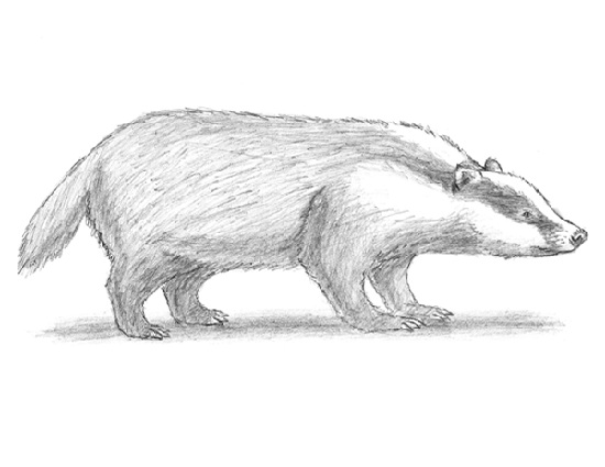 How to Draw a European Badger