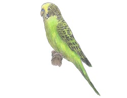 How to Draw a Budgie (Parakeet)