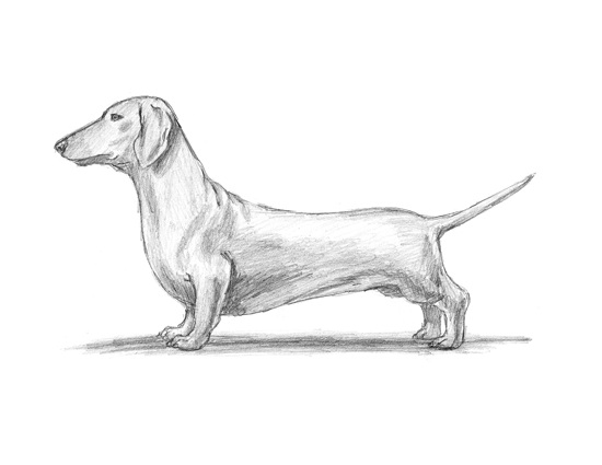 How to Draw a Dachshund Dog