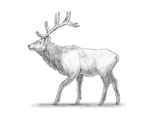 How to Draw an Elk Wapiti