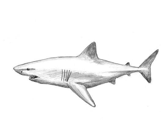 How to Draw a Great White Shark