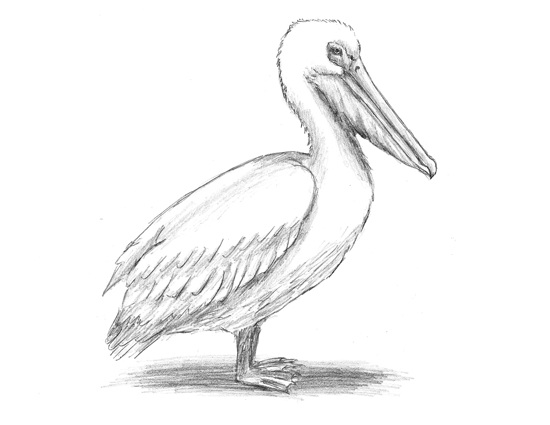 How to Draw a Pelican