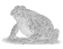 How to Draw a Toad