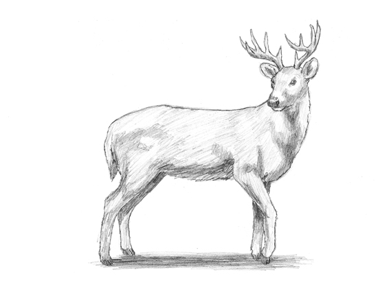 How to Draw a White Tailed Deer